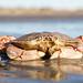 Atlantic Rock Crab by Rajagrover