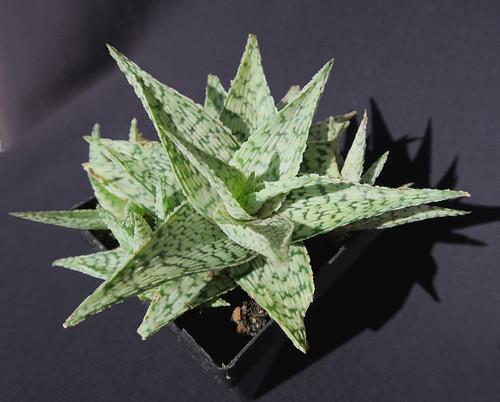 Aloe rauhii 38462501092_c01a4c6ffc