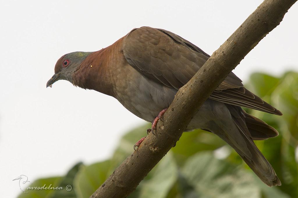 Paloma colorada (Pale vented pigeon) Patagioenas cayennensis