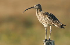 Curlew (Numenius arquata).