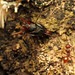 Small photo of Camponotus vs. Aphaenogaster