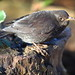 Kevin the young Blackbird.