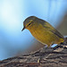Pensive Orange-crowned Warbler