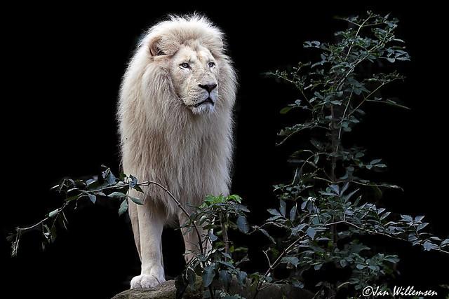 Afr. Witte Leeuw - 029091