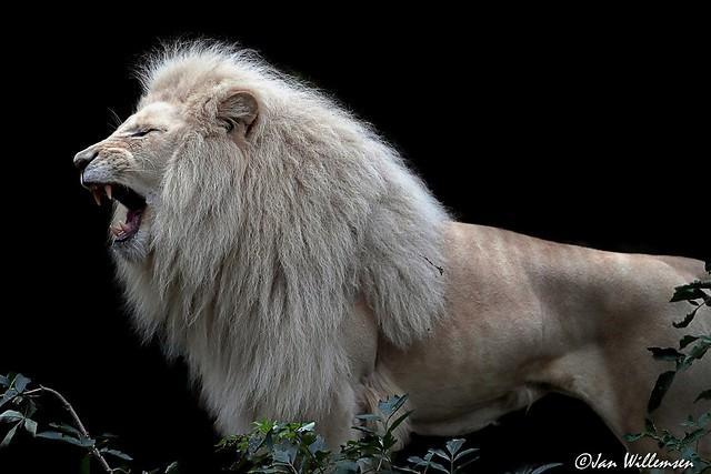 Afr. Witte Leeuw - 029094