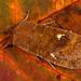Satellite (Eupsilia transversa).