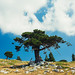 Pollino National Park - Father tree