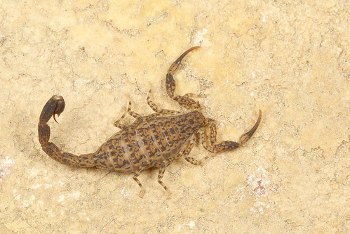 Marbled Scorpion (Lychas marmoreus)