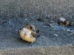 Hirondelle de rochers - Photo of Cruzy
