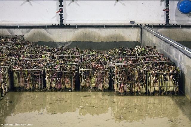 Radicchio di Treviso IGP in acqua