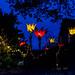 Christmas Glow RHS Wisley 02 December 2017 (1)