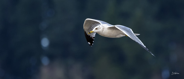 Long-billed Gull