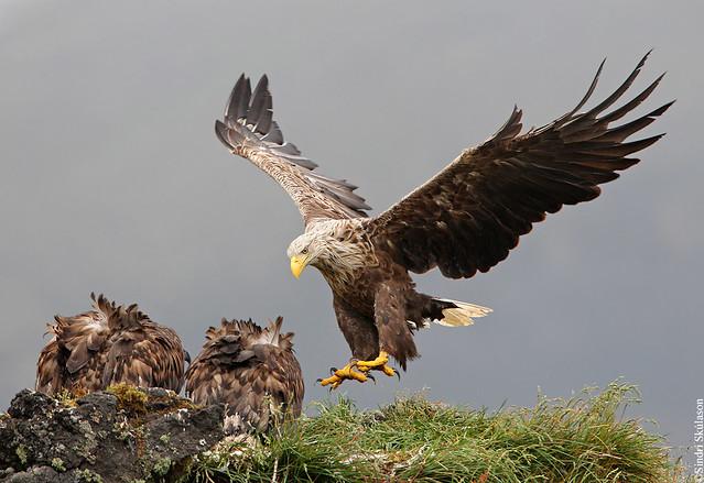 White-tailed Eagle (Haförn) 213
