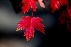 canada-fall-maple-leaf-57572_20141019_GK.jpg