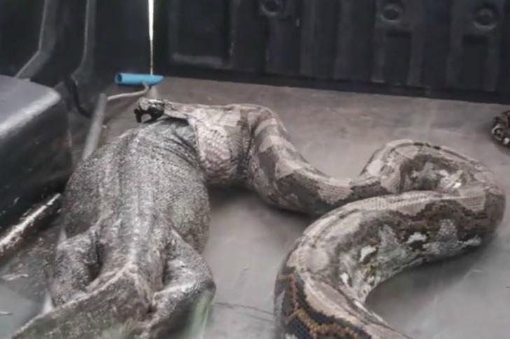 0001asonitor-lizard