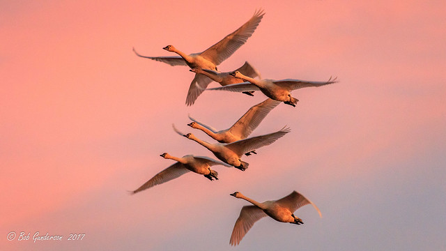 Tundra Swans at Sunset [Explored]