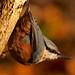 Nuthatch (Sitta europaea) Bluebell Woods. 30/11/2017