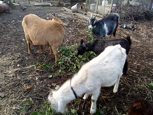 goats eating ivy Nov 17 1