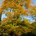 Autumn leaves: beech
