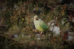 Kew Gardens Parakeet