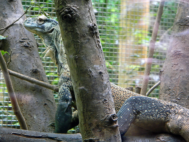 A lizard at the Singapore Zoo