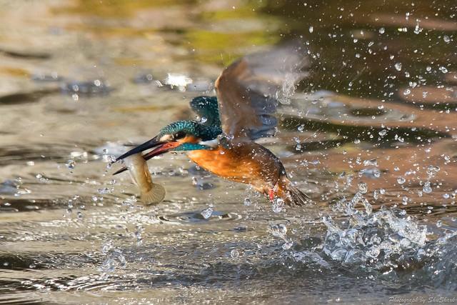 20171124-kingfisher-DSC_8333