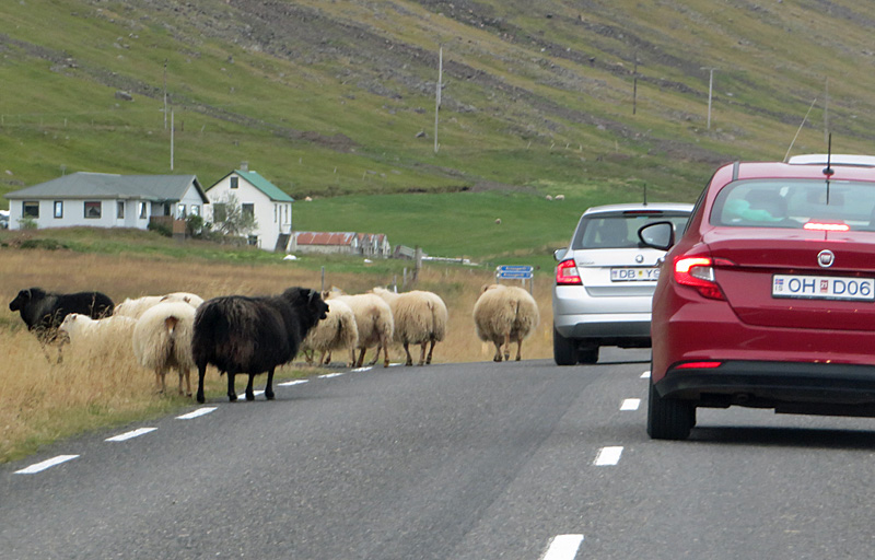 unique iceland - sheep traffic jam