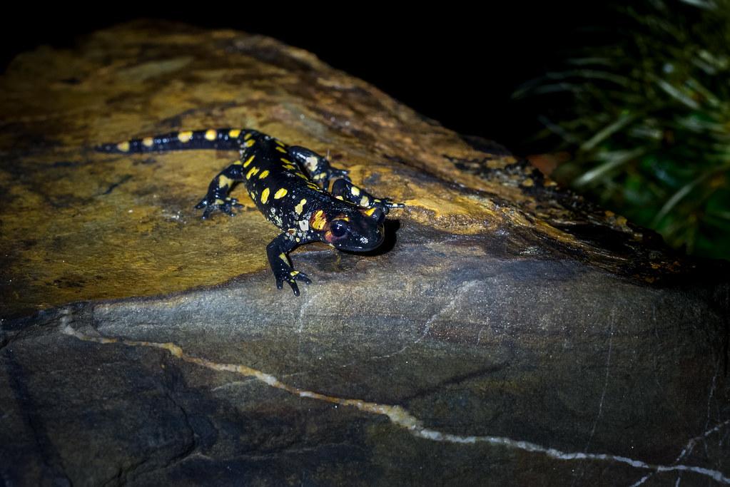 Fire Salamander - Salamandra-de-fogo