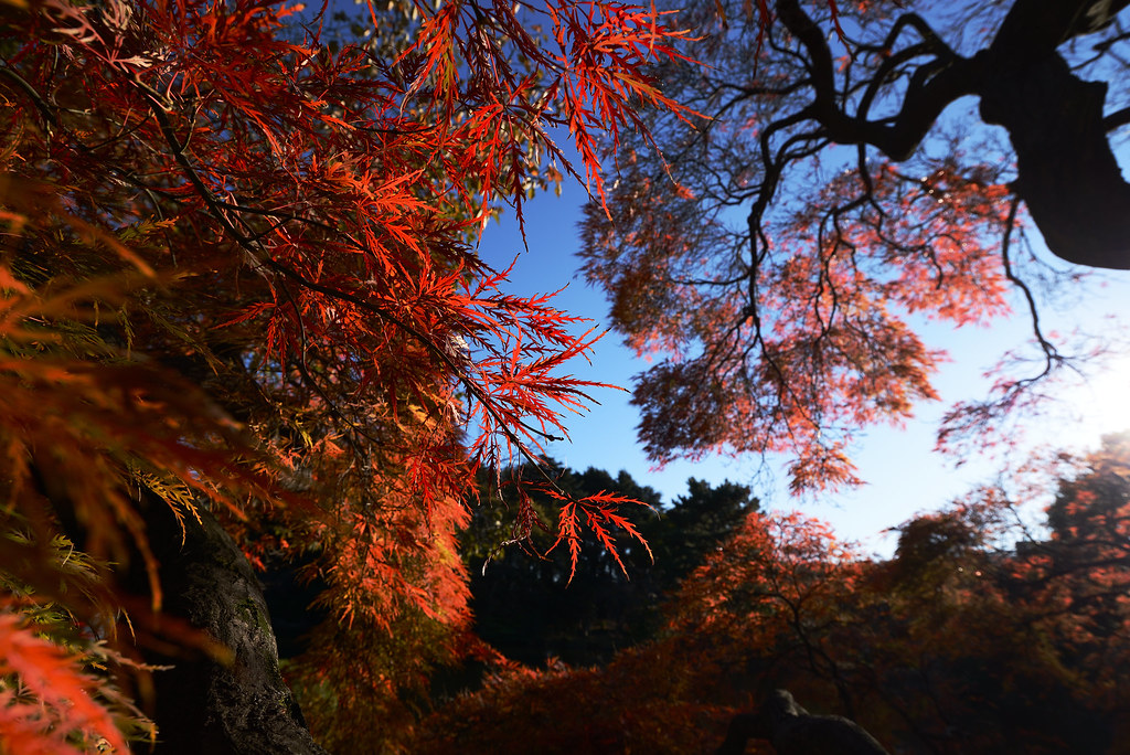 Shinjuku Gyoen Garden in autumn.  新宿御苑の紅葉