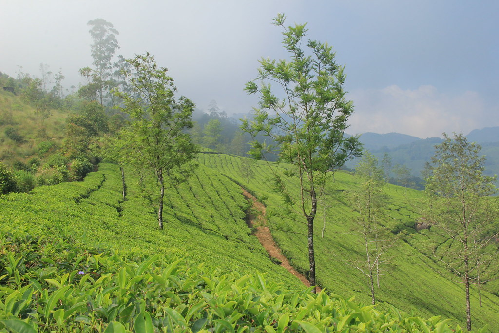Tea plantations, Kerala