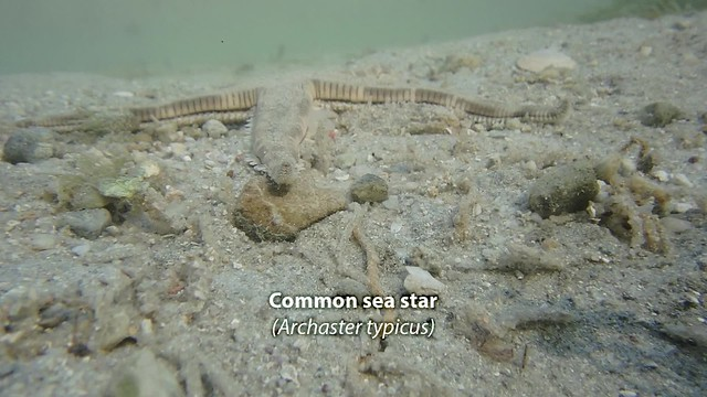 Common sea star (Archaster typicus)