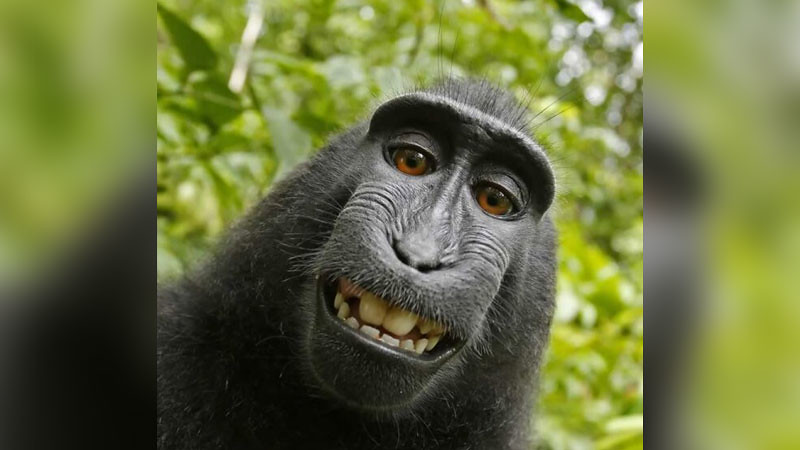 Swafoto Naruto dari Indonesia, kera makaka asal Sulawesi.