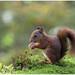 Red Squirrel (Juvenile) - Eekhoorn (Juveniel) (Sciurus vulgaris) ..... by Martha de Jong-Lantink