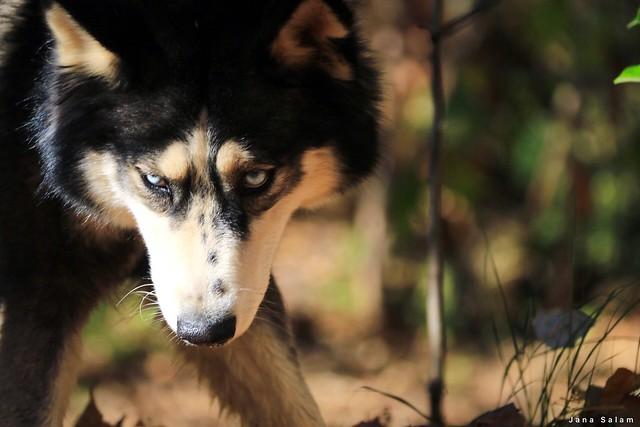Leveny #husky #dogs #photographyoftheday #photo_art #photooftheday #photography #photo #pic