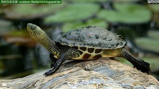 斑龜;花龜;綠龜#Ocadia sinensis