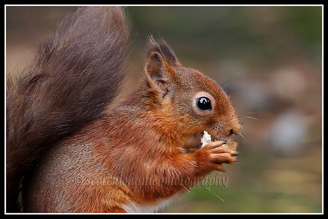 IMG_0004 Red Squirrel