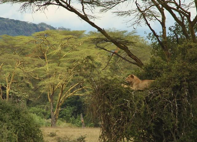 Lions of Nakuru NP