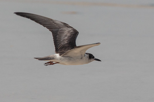 Whiskered Tern  or Black Tern