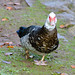 Muscovy duck waddling, West Park