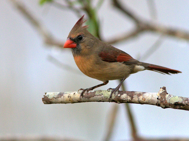 Northern Cardinal female 01-20171104