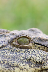 Crocodile eye at Chobe National Park