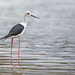 Black-winged Stilt by Ben Locke.