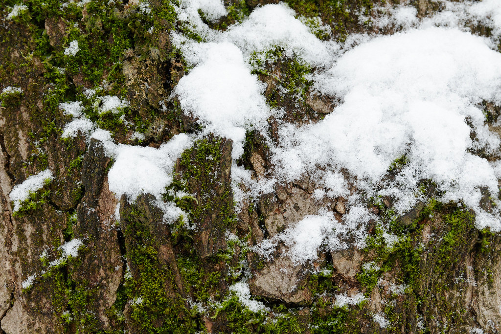 Snow on top of moss on top of the bark of a maple tree