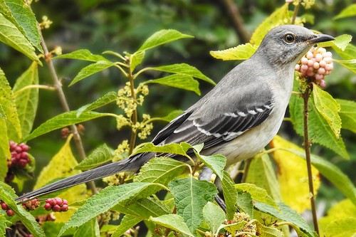 Mockingbird amongst the beauty berries