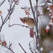 Record shot of Northern Cardinal (Cardinalis cardinalis) - Cranbrook, BC by bcbirdergirl