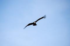 World of Birds Show - Los Angeles Zoo - Andean Condor