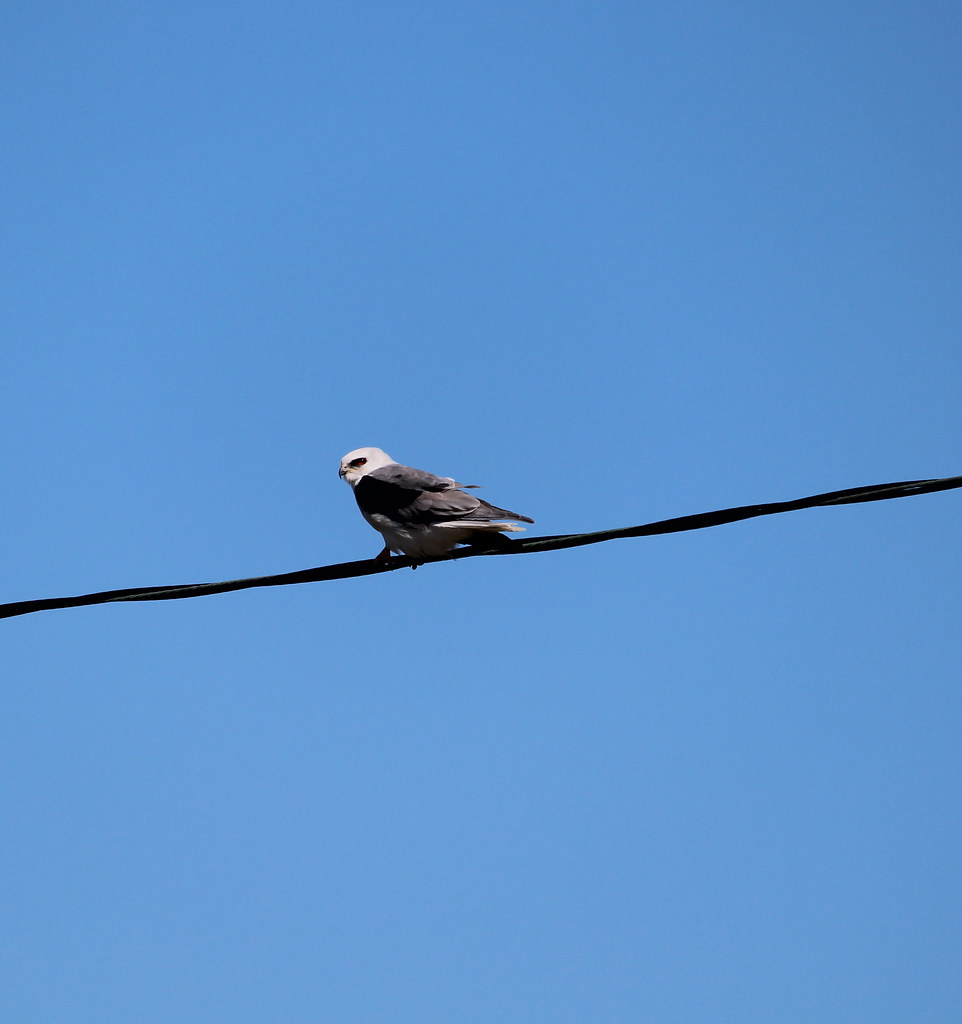 White tailed Kite High Island TX 10-17