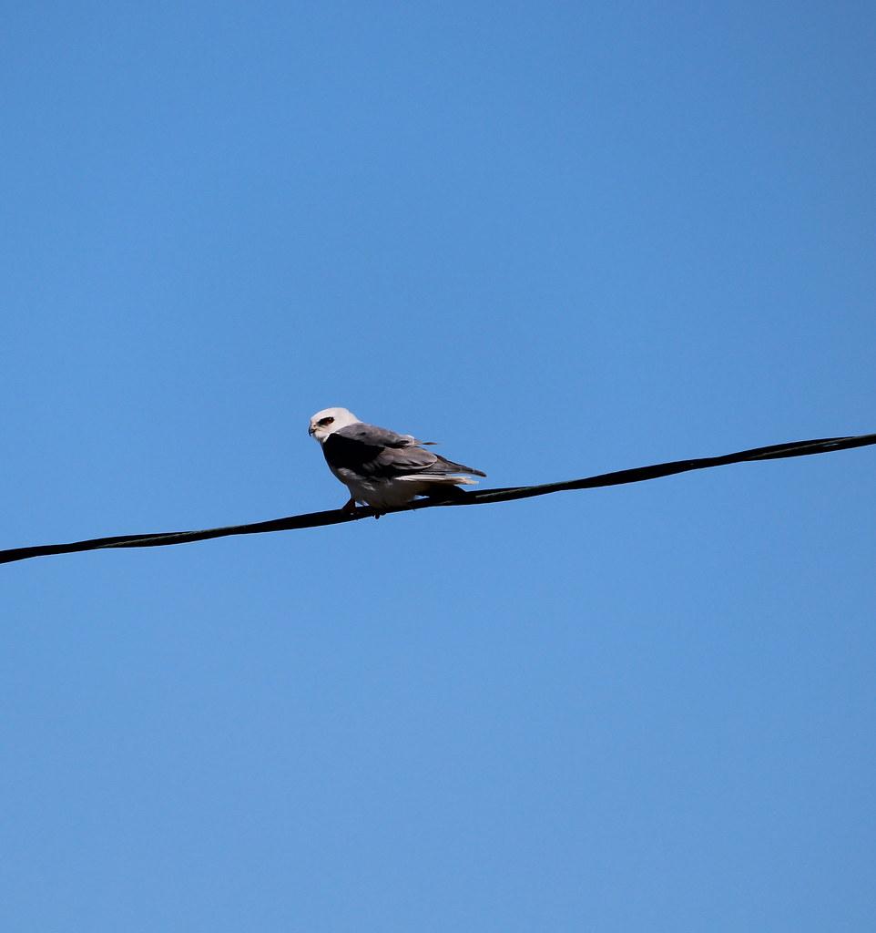 White tailed Kite High Island TX 10-17