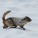 Hoary Marmot on the move