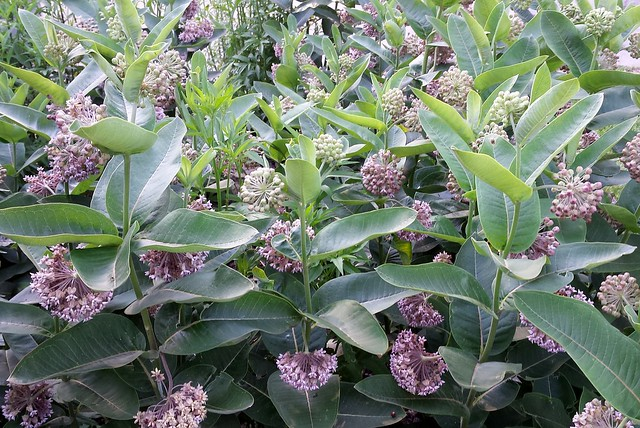 about 20 tightly packed common milkweed plants, all budding and blooming